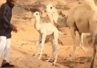 Трогательное воссоединение мамы-верблюдицы с верблюжонком