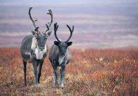 На Ямале стало слишком много оленей