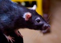 Во Вьетнаме девушка попала в яму с гигантской злой крысой (ВИДЕО)