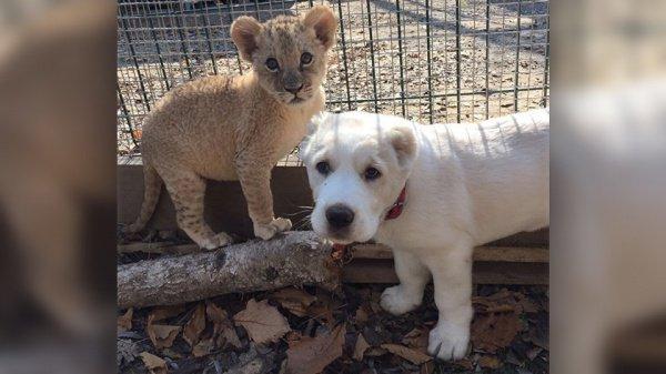 Пока для щенка и львицы строят вольер, они живут в доме директора зоопарка