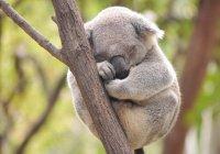 Коалы впервые вернулись на Центральное побережье Австралии