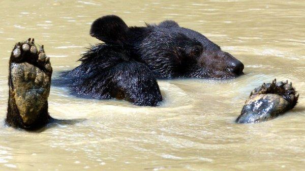 Очередная операция прошла успешно, и качество жизни медведя улучшилось