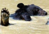 В Мьянме медведю удалили гигантский язык
