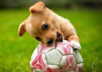 В Боливии собака приняла участие в футбольном матче (ВИДЕО)