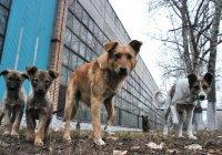 В Иваново собаки загрызли 9-летнего мальчика