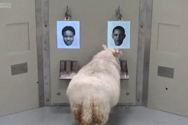 Овца сумела сделать это после того, как увидела фото бывшего американского лидера 12 раз