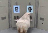 Овцу научили узнавать Барака Обаму на фото (ВИДЕО)