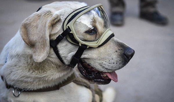 Собака прошла спецподготовку для поиска людей в разрушенных зданиях