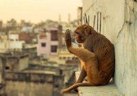 В Индии обезьяна пьет бензин из мотоциклов (ВИДЕО)