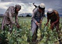 В Афганистане обеспокоены «рекордным урожаем» опиумного мака