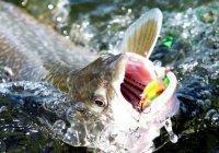 Антидепрессанты делают рыб агрессивными