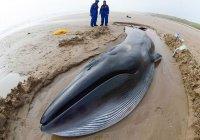 В Бразилии на пляж выбросило 30-тонного кита
