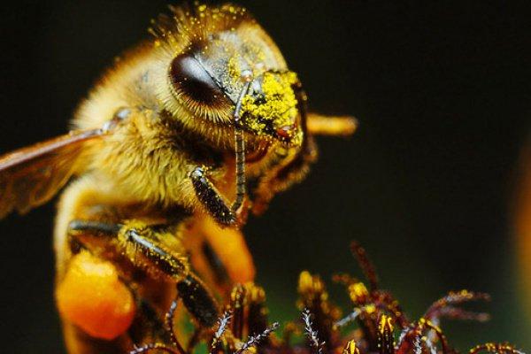Исследователи наблюдали за колониями пчел, которые посещали растения, обработанные неоникотиноидными пестицидами