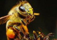 Ученые: Пчелы разучились жужжать