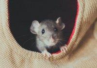 Крыса вызвала панику в вагоне метро Нью-Йорка