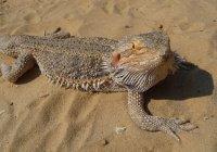 Ящерицы могут поглупеть из-за глобального потепления