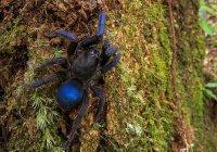 В Южной Америке нашли синих пауков