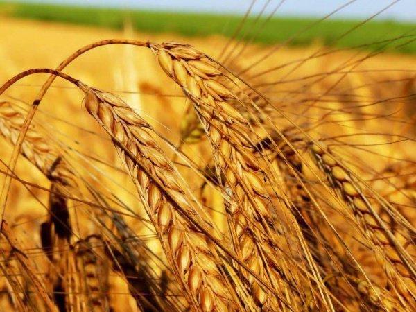 """""""Из зерен, брошенных в землю Адамом, выросла пшеница, а из зерен, посеянных Хаввой, выросла ячмень"""""""