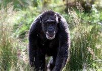 Самая старая шимпанзе Европы умерла в Шотландии