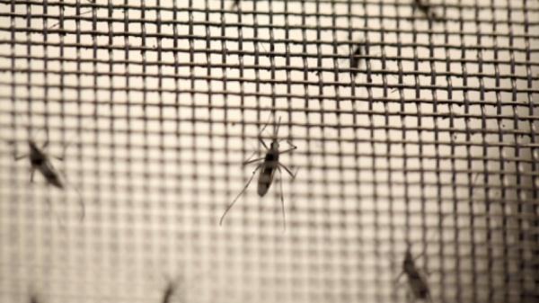 Ключевыми распространителями заболевания являются филиппинские комары