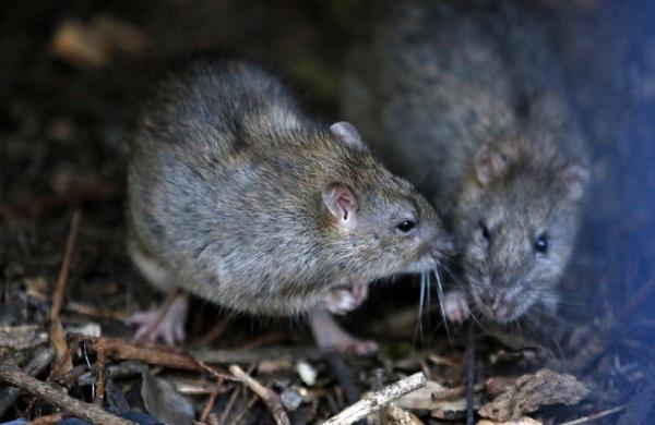 Для создания «крыс-диверсантов» ученые из Шотландии намерены использовать новейшую систему редактирования ДНК