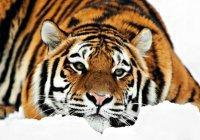 В Китае тигр сбил беспилотник (ФОТО)