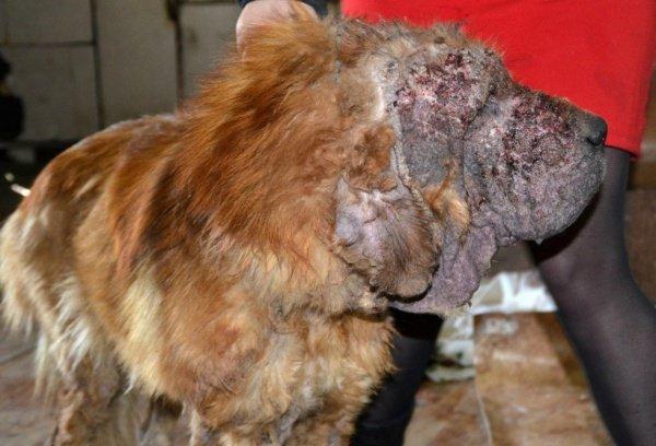 Животному, которому не было и 2-х лет, страдало демодекозом (вид клеща)