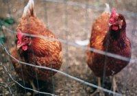 Переводчик с куриного на человеческий создали в США