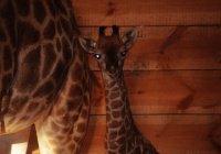 Первый детеныш жирафа родилcя в Крыму (ФОТО)