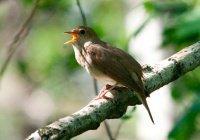 Для певчих птиц приемные отцы оказались важнее родных