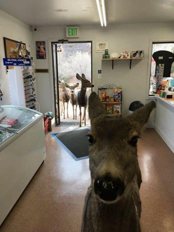 Через некоторое время самка оленя вернулась в придорожный магазин, но уже со всей своей семьей
