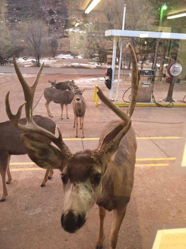 В Колорадо олени приходят в магазин за шоколадом