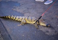 Живые крокодилы стали модным подарком в Австралии