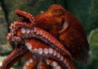 Новый вид гигантских осьминогов открыли биологи