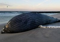В США горбатый кит выбросился на берег