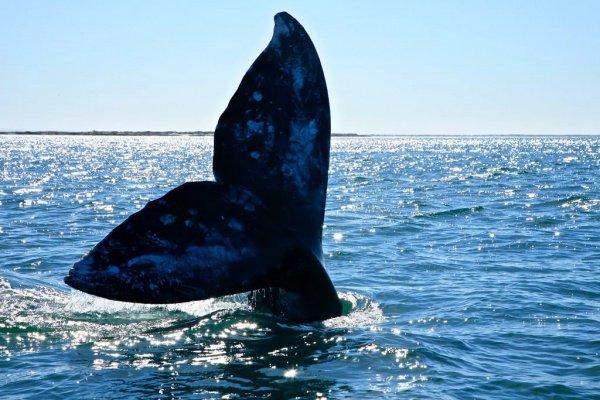 Это дает китам дополнительную возможность пополнить свои жировые запасы перед затяжным путешествием к берегам Калифорнии для зимовки