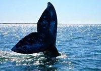 Самую позднюю встречу серых китов зафиксировали на Чукотке