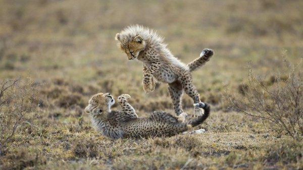 Водном иззоопарков США гепард родила рекордное количество детенышей