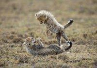 В США самка гепарда установила рекорд