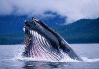 Горбатый кит спас женщину от акулы (ВИДЕО)