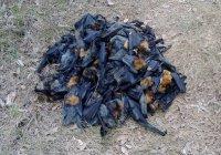 Больше 200 летучих лисиц сварились на жаре в Австралии