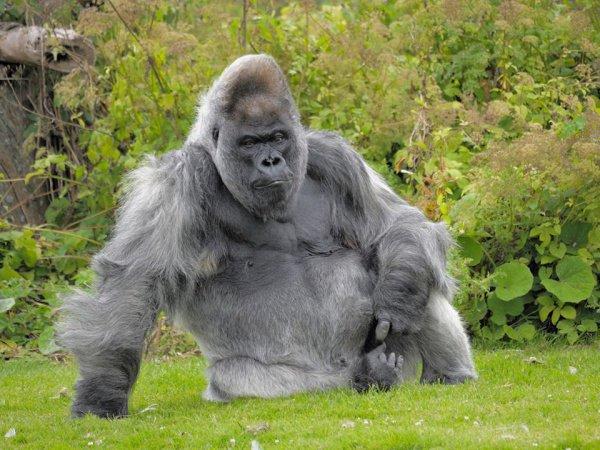 В распоряжении гориллы был собственный дом с колоннами, центральным отоплением и телевизором