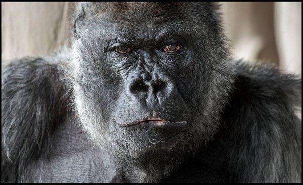 Точный возраст скончавшегося примата неизвестен