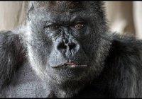 Одна из самых старых горилл мира скончалась в Британии