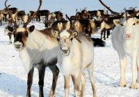 Комитет «Халяль» ДУМ РТ впервые осуществил халяльный забой оленины