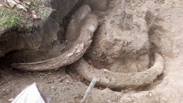 Кости мамонта, которые якобы были обнаружены на свалке, по оценкам специаистов, старше 4,5 тысяч лет