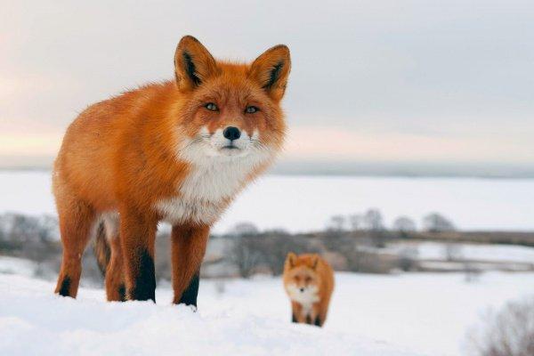 По словам специалистов, дикие звери чаще всего прогуливаются по тихим огороженным территориям