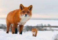 Дикие лисы заполонили Москву