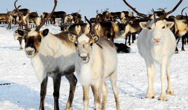 Татарстанцы попробуют халяльную оленину.