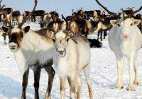Татарстан впервые получит халяльную оленину